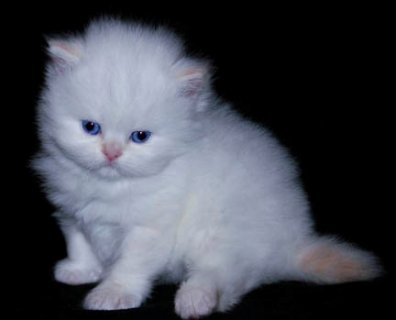 صور Persian Kittens $ Bengal Kittens Ready To Go  1