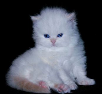 صور Persian Kittens $ Bengal Kittens Ready To Go  2