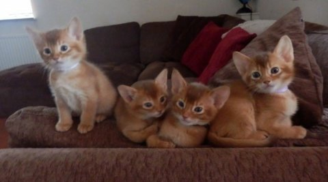 Abyssinian Male Kittens