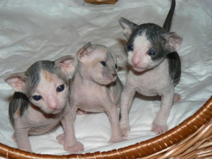 Sphynx Kittens Available Now