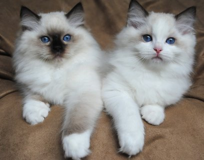 صور Gorgeous Ragdoll Kittens 1