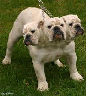 three headed English Bulldog for sale