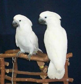 Cute male and female Umbrella Cockatoos parrots for Sale