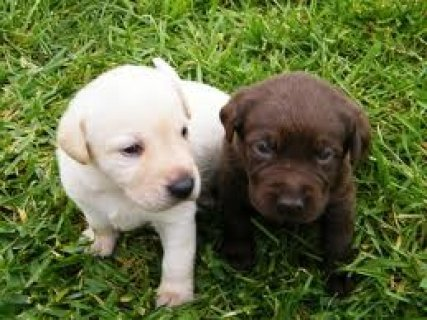 صور Labrador puppies for your home 1