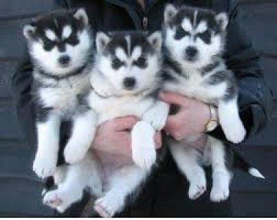 Beautiful Siberian Husky Puppies Now Going