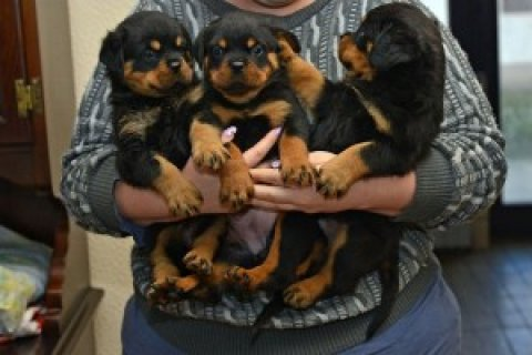 صور Rottweiler Puppies Available For Rehoming Now  1