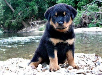 Rottweiler Puppies for Adoption11