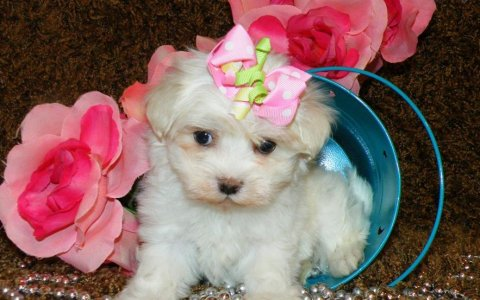 صور Adorable male and female teacup Maltese for adoption 1