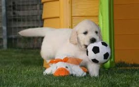صور Playful Golden retriever Puppies 1
