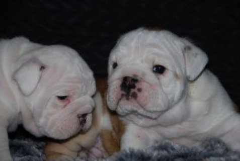 صور bulldog puppies for adoption. 1