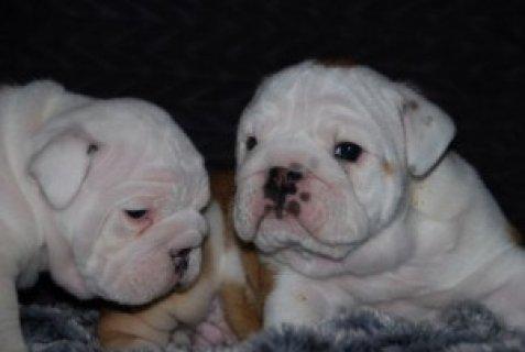 bulldog puppies for adoption.
