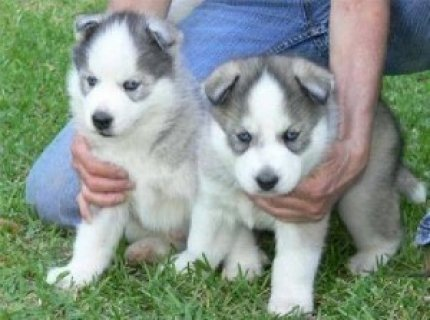 Home Trained Siberian Husky Puppies Available32