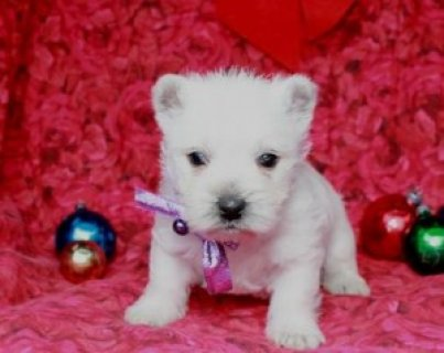 West Highland White Terrier Puppies for Sale!1111