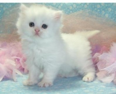 صور Adorable Persian Kittens for Adoption - 1