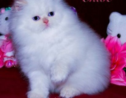 صور Persian kittens for sale. 1