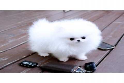 صورة 1 Gorgeous Teacup Pomeranian Pups