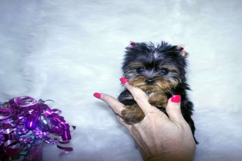 Cutey Male And Female Yorkie Puppies For Rehoming