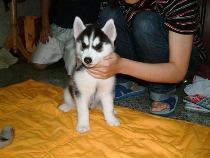 Siberian Husky Puppies available.21
