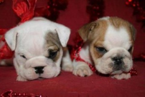 New Male and Female English Bulldog Puppies For Sale