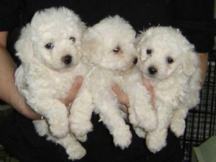 صور  Bichon Frise puppies for free adoption11 1