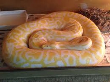 Albino Lavender Reticulated Python for sale