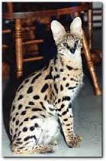 Well tamed serval and savannah kittens, cheetahs and tiger cubs