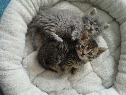 Munchkins Kittens for adoption