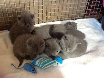 TICA Registered British shorthair  Kittens Available