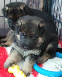 Purebred german shepherd Puppies