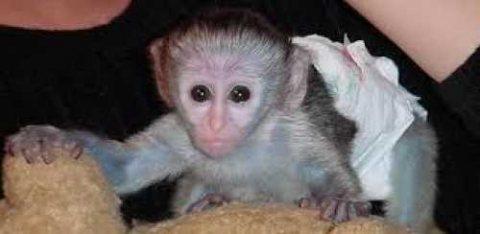 Tamed Capuchin Monkeys