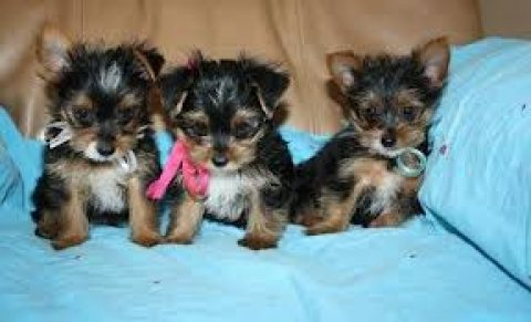 Sweet Male and Female Teacup Yorkie puppies Looking for a new