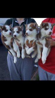 Top Class Siberian Husky Puppies