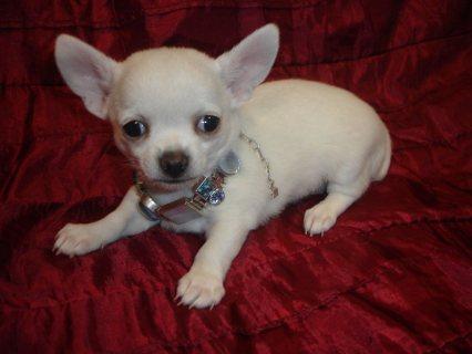 Micro Tiny Teacup White Chihuahua Puppy