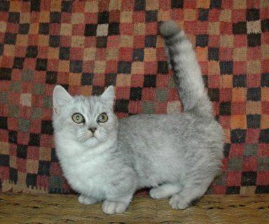 Munchkin Kittens Registered for adorption
