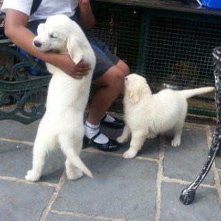 Adorable Golden Retriever Puppies for adoption