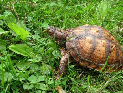 Excellent tortoises For Sale