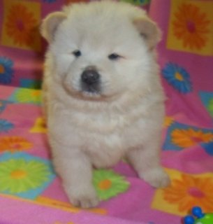 Beautiful AKC Chow Chow for adoptions