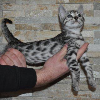 Lovely F2 Savannah Kittens available for adoption
