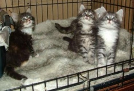 Cute male and female Maine Coon Kittens for sale .././