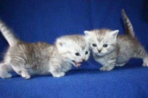 Stunning Munchkins Kittens 090