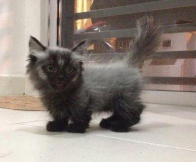 Available Munchkin Kitten