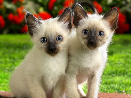 Gorgeous George Siamese Kittens For Adoption,