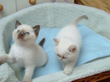 صور Ragdoll Kittens For Sale now 1