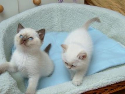 Cute Male And Female Ragdoll Kittens