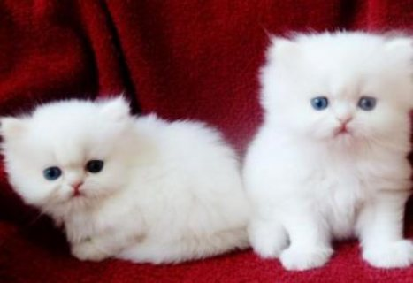 Two White Persian Kittens for adoption