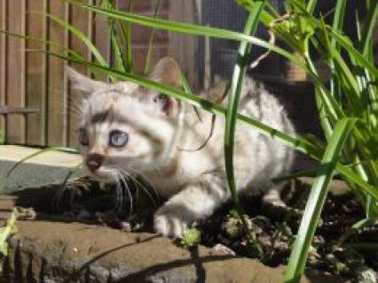 صور Blue Eyed Snow Rosetted Bengal Kittens 1