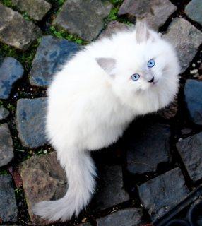 Home Raised Ragdoll Kittens