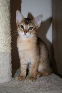 Abyssinian  Kittens Avialable