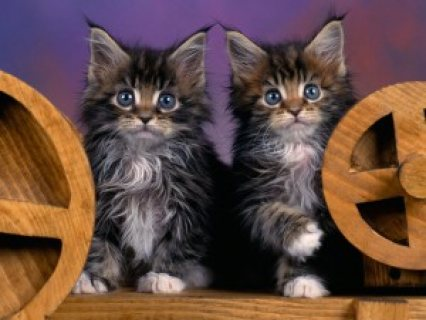 Cute Pedigree Maine Coon kittens for sale