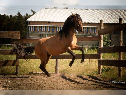 Gorgeous Friesian horse waiting for a good home